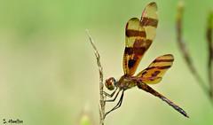 Halloween Pennant (Suzanham) Tags: dragonfly halloweenpennant celithemiseponina libellulidae macro wings stripes orange insect bug nature wildlife mississippi southern canonpowershotsx60hs odonata