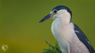 Black-crowned Night Heron | 2017 - 14 [EXPLORED]