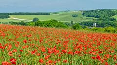 The view to the church (Oswald Bertram) Tags: poppies amapolas papaveri mohn mohnblumen