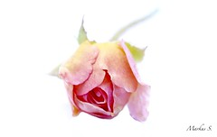 "Macro Mondays ""High Key"" (Max pics3) Tags: makro macro macromondays mm hmm highkey rose nahaufnahme closeshot closeup canon canoneos6d eos6d eos tamron digital roses"