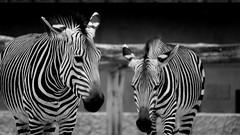 Duo B&W (YᗩSᗰIᘉᗴ HᗴᘉS +8 500 000 thx❀) Tags: two duo deux zèbre animal monochrome bw bn blackandwhite 7dwf hensyasmine zoo zoodanvers belgium antwerpen anvers