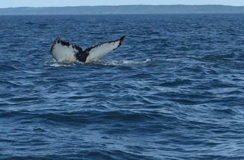 Humpback Whales, Bay of Fundy