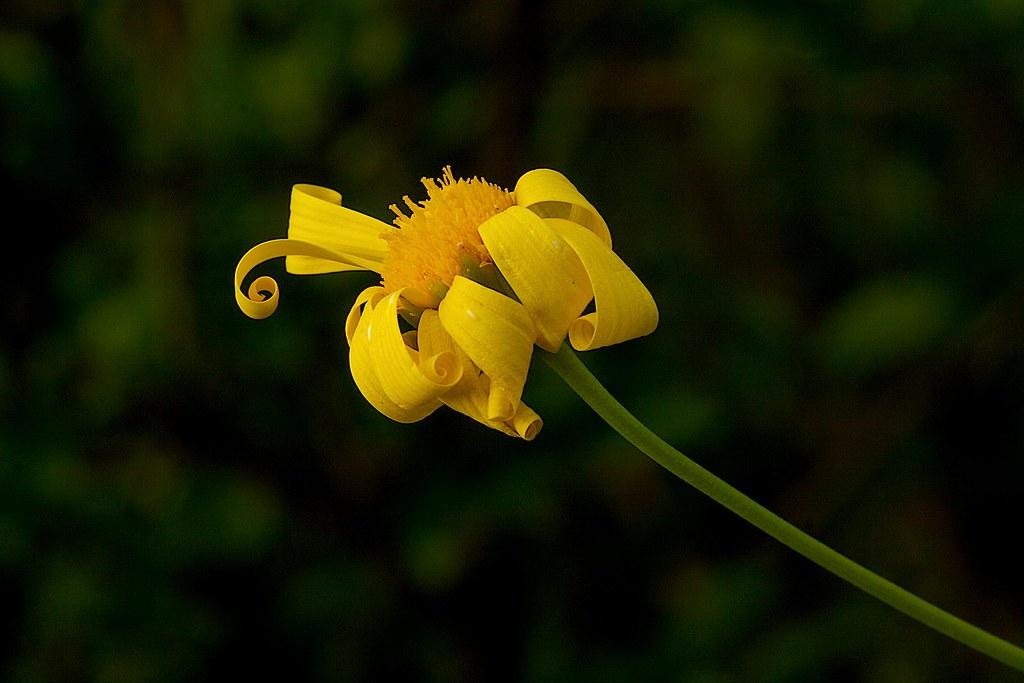 lora flower