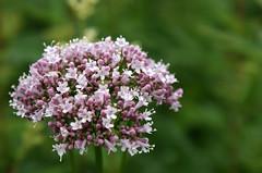 (helena.e) Tags: helenae semester vacation ålga husbil motorhome norrland kukkolaforsen blomma flower lila purple green grön
