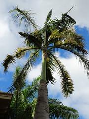 Palm: Boron (B) deficiency (Scot Nelson) Tags: palm boron deficiency