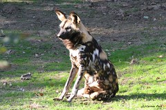 Lycaon (Passion Animaux & Photos) Tags: safari peaugres france lycaon african wild dog
