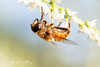 Flower Fly (KristenMartyn) Tags: wildlife bee pollinators pollination naturatours wildbirds wildbirdsunlimitedbarrie ontario insect tour tours wbubarrie invertebrate flowers flower wildflower pollinator flowerfly syrphidae fly flies syrphid hoverfly