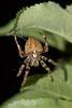 Araneus angulatus 20170621 , NGIDn285668888 (naturgucker.de) Tags: ngidn285668888 naturguckerde araneusangulatus johannisberg unterebrunnengasse carnolaber