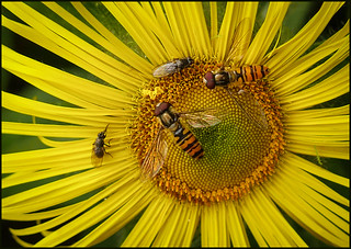P1190320-1 - Marmalade Hoverflies on Inula hookeri