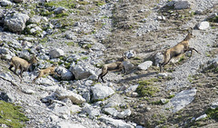 the example (quanuaua) Tags: ifttt 500px mountain wildlife wild hiking alpine chamois nature photograph rupicapra pics wildanimal wildanimals livigno camoscio alpino