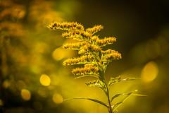 Goldenrod (Nicholas Erwin) Tags: golden yellow charming nature bokeh depthoffield dof morning goldenhour morningsunlight wildflower flower plant organic goldenrod nikon d610 70200f4vr waterbury vermont vt unitedstatesofamerica usa fav10 fav25 fav50