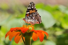 Painted lady (Jim Atkins Sr) Tags: vanessacardui paintedlady cosmopolitanbutterfly butterfly sony sonya58 sonyphotographing tryonpalace northcarolina newbern mexicansunflower