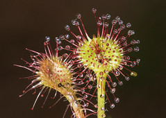 Sundew (Bill McMullen) Tags: