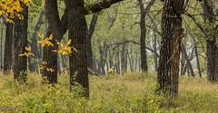 The Forest - Theodore Roosevelt National Park - Cottonwood Trees (nebulous 1) Tags: forest theodorerooseveltnationalpark trnp trees biker bikerider nikon neblous1 glene cottonwoodtree