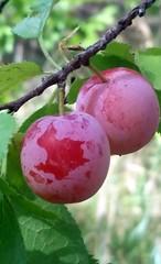 wild sandhill plum (JoelDeluxe) Tags: newmexico southvalley joeldeluxe