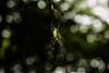 女郎蜘蛛1 - Joro Spider 1 (burak.maasoglu) Tags: spider joro jorospider yellow red japan kagoshima senganen green bokehballs spiderweb 鹿児島 仙厳園 女郎蜘蛛 女郎 蜘蛛 蜘蛛糸 緑 赤い 黄色