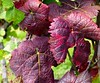 Natur (Rolfmundi) Tags: grunbach remstal remshalden traubenblatt outdoor