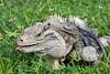 Lesser Caymans Iguana (Wes Rabb) Tags: endangered species iguana lizard caymans