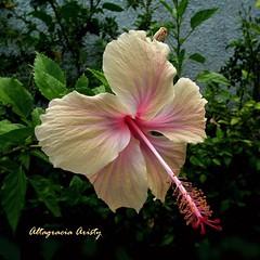 Hibisco/Hibiscus (Altagracia Aristy Sánchez) Tags: hibisco hibiscus cayena quisqueya repúblicadominicana dominicanrepublic caribe caribbean caraïbe antillas antilles trópico tropic américa fujifilmfinepixhs10 fujifinepixhs10 fujihs10 altagraciaaristy blackbackground fondonegro sfondonero