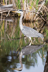 Fishing heron (Felix Meyer Photo) Tags: gray grey heron lake water mirror nature natur graureiher reiher vogel bird schwenninger moos mirroring reflection reflect explored