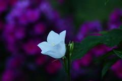 Vit blåklocka (evisdotter) Tags: vitblåklocka campanula macro bokeh flower blomma dew dagg sooc