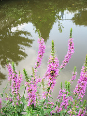 Purple Loosestrife and Bumblebee (Puzzler4879) Tags: flowers bumblebees bees beesonflowers purpleloosestrife purpleflowers lythrumsalicaria a580 canona580 canonpowershot canonpowershota580 canonaseries powershot powershota580 canonphotography canonpointandshoot pointandshoot flowercloseups