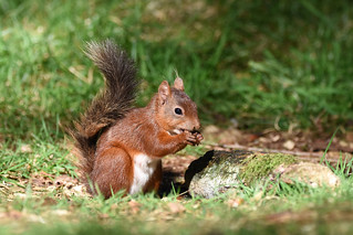 Red Squirrel, nr Hawes, North Yorkshire