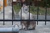 Gatto tigrato chiaro con gli occhi azzurri (Carla@) Tags: liguria italia europa mfcc canon alittlebeauty thesunshinegroup coth coth5 sunrays5