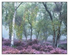 Stanton Mist 10 (shaunyoung365) Tags: stanton moor landscape heather mist trees tree peakdistrict