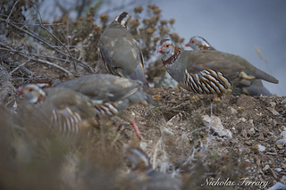 Hungry Partridges