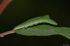 Gonepteryx rhamni (Linnaeus, 1758). Oruga (Jesús Tizón Taracido) Tags: lepidoptera papilionoidea pieridae coliadinae gonepterygini gonepteryxrhamni