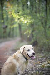IMG_0235 (BernaPhotography) Tags: dog pet labradorretriever lab yellow forest woods serbia portrait