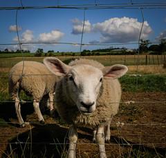 BAA Mother F@%cker (erringtonsimon) Tags: sheep animal farm wildlife baa fun happy trees sky fence wire greedy whitehousefarm whitehouse northumberland england panasonic g80 lumix