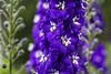 SLT03923 (rudenoon) Tags: sony slta99 sal135f18z garden flowers delphinium interlochen michigan usa