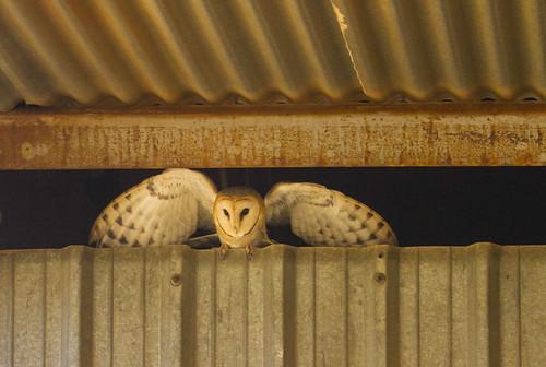 Western Barn Owl , landing on the metal rim , from inside the Barn _9276