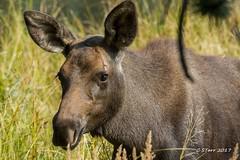 IMG_1707 calf moose (starc283) Tags: moose mountains moosecalf nature naturesfinest wildlife rockymountains canon canon7d colorado flickr flicker starc283 outdoors outdoor