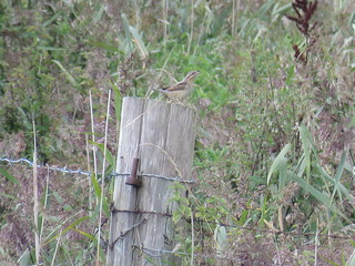 Delighted to have found this gorgeous Wryneck! suffolk yesterday 😀 Record shot!