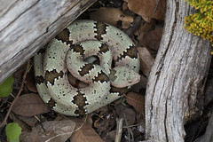 Banded Rock Rattlesnake (DevinBergquist) Tags: bandedrockrattlesnake rockrattlesnake crotalus crotaluslepidusklauberi crotaluslepidus klauberi snake herping fieldherping mexico mx chihuahua wildlife nature