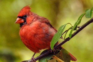 Handsome Northern Cardinal