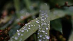 raindrops on a leave (Flip_Over) Tags: raindrops regentropfen macro leave bokeh zeiss 50 f2 sony a7ii water