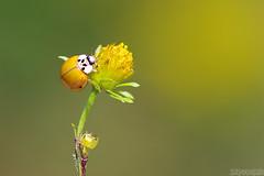 Yellow Fellow (Vie Lipowski) Tags: ladybug ladybird ladybeetle cosmos insect beetle bug plant flower weed backyard garden yellow wildlife nature macro