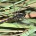 Black Meadowhawk / EXPLORE 9/19/2017 (birding4ever) Tags: 5 blackmeadowhawk sympetrumdanae