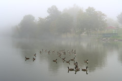 More Flight Delays (Chancy Rendezvous) Tags: birds pond lake water geese fog mist morning worcester massachusetts flightdelays park greenhill reflection chancyrendezvous