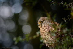 Kestrel through Hawthorne 23.09.17 (Lee Myers - aka mido2k2) Tags: avian bird prey predator raptor falcon hawk feathered wildlife nature natural bbcspringwatch bbc springwatch countryfile countryside uk stunning beautiful nikon d7100 200500mm f56 nikkor iamnikon bokeh woodland outdoors happy trending explore flickr common nikonflickrtrophy
