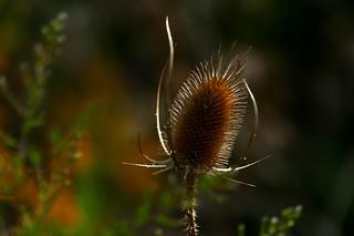 autumn teasel