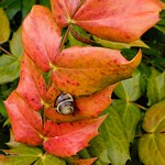 Snail on Mahonia Leaf thumbnail