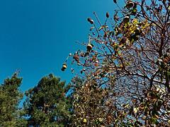 20170927_110749—Aesculus californica—Ohlone Pathway—DxO (John Rusk) Tags: dxofujivelvia50preset dxofilmpack taxonomy:kingdom=plantae plantae taxonomy:subkingdom=tracheophyta tracheophyta taxonomy:phylum=magnoliophyta magnoliophyta taxonomy:class=magnoliopsida magnoliopsida taxonomy:order=sapindales sapindales taxonomy:family=sapindaceae sapindaceae taxonomy:genus=aesculus aesculus taxonomy:species=californica taxonomy:binomial=aesculuscalifornica aesculuscalifornica californiabuckeye taxonomy:common=californiabuckeye