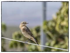 PAJARITO (BLAMANTI) Tags: pajaros aves avesdeespaña viñedos viñas naturaleza collalba gris