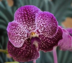 Vanda Crownfox Velvet 'Shamwar' AM/AOS x Vanda Faye Bennett 'Lovely' (ACEZandEIGHTZ) Tags: nikon d3200 orchid flower vanda hybrid saariysqualitypictures excellentsflowers floralfantasy thebestofmimamorsgroups