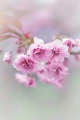 Cherry blossoms (bożenabożena) Tags: plant flower spring pink garden cherrytree blossom pinkflower kwiatwiśni rózowy wiosna kwiaty bokeh